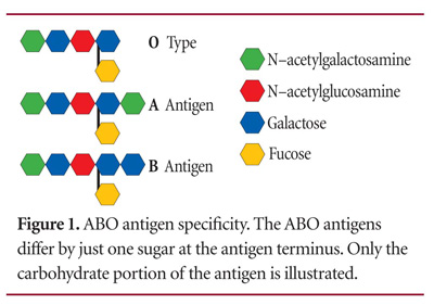 وبالتالي كل الخلايا تحمل على سطحها نسبة من الأنتجين H إلّا فصيلة دم واحدة  وهي فصيلة O bombay