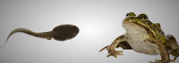 Frog and tadpole - photo#10